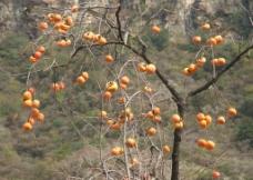 红色柿子图片