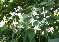 小白花图片