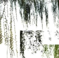 柳樹柳葉圖片