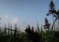 水上蜻蜓图片