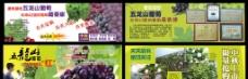 五龙山葡萄采摘图片