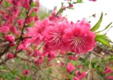 樱花朵朵图片
