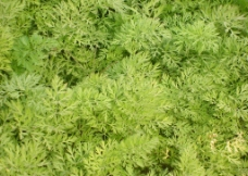 胡萝卜叶子图片