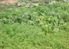 萝卜叶子图片