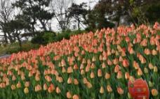 植物园郁金香风光图片