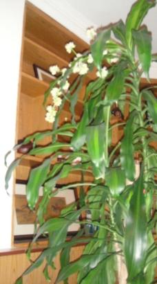 巴西木开花图片