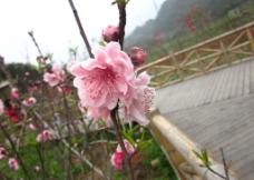樱花特写图片