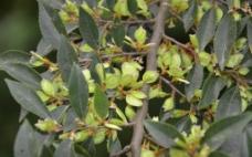 榔楡树花图片