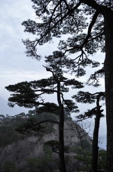 黄山松图片