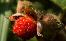野草莓图片