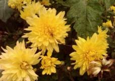秋天菊花图片