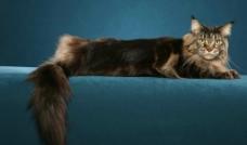狮子猫图片