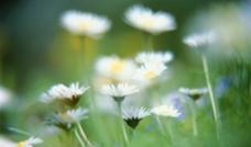 雏菊摄影图片