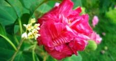 芙蓉花与桂花图片