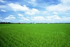 稻田 水稻图片
