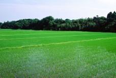秧苗 稻田图片