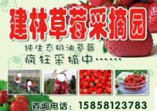 草莓采摘广告图片