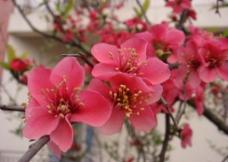 红梅花图片