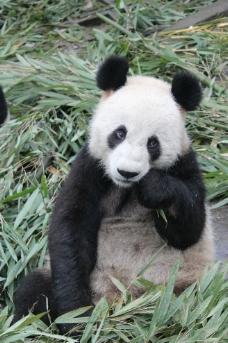 熊猫吃竹叶图片