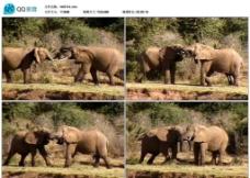 大象打斗视频实拍素材